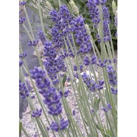 lavender-royal-vlevet-culinary-live-plants