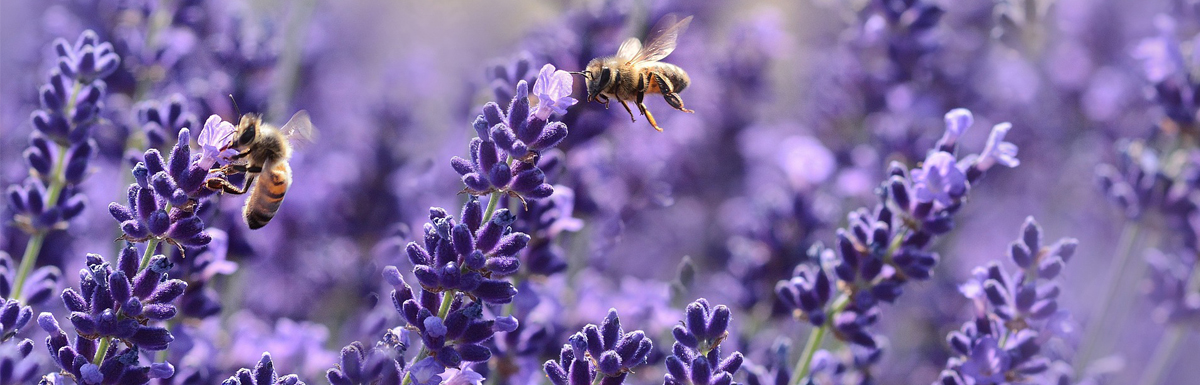 Lavender – Don't Just Use it in a Sachet!