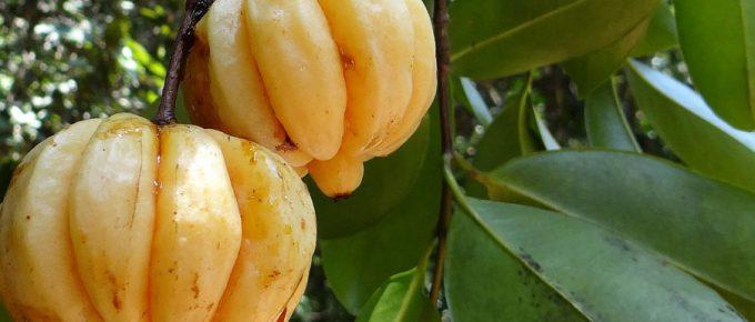 Garcinia Cambogia – What to Look for When Buying Garcinia Cambogia