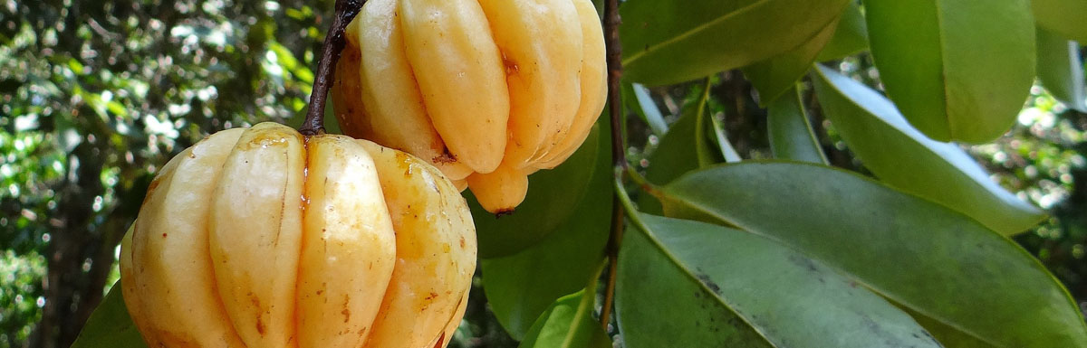 Garcinia Cambogia – What to Look for When Buying Garcinia Cambogia